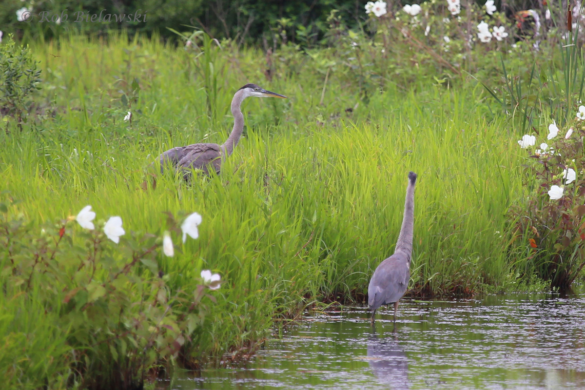 Several juvenile Great Blue Herons were sighted along the ditches of Princess Anne WMA on Sunday morning!