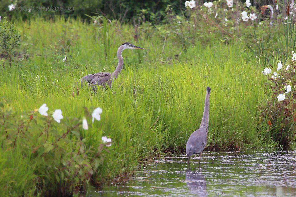 Great Blue Heron - Juvenile - 12 Jul 2015 - Princess Anne Wildlife Management Area (Whitehurst Tract), Virginia Beach, VA