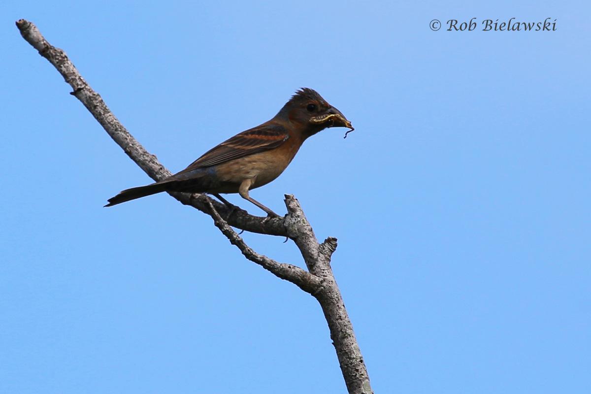 Blue Grosbeak - First Summer Male - 12 Jul 2015 - Princess Anne Wildlife Management Area (Whitehurst Tract), Virginia Beach, VA