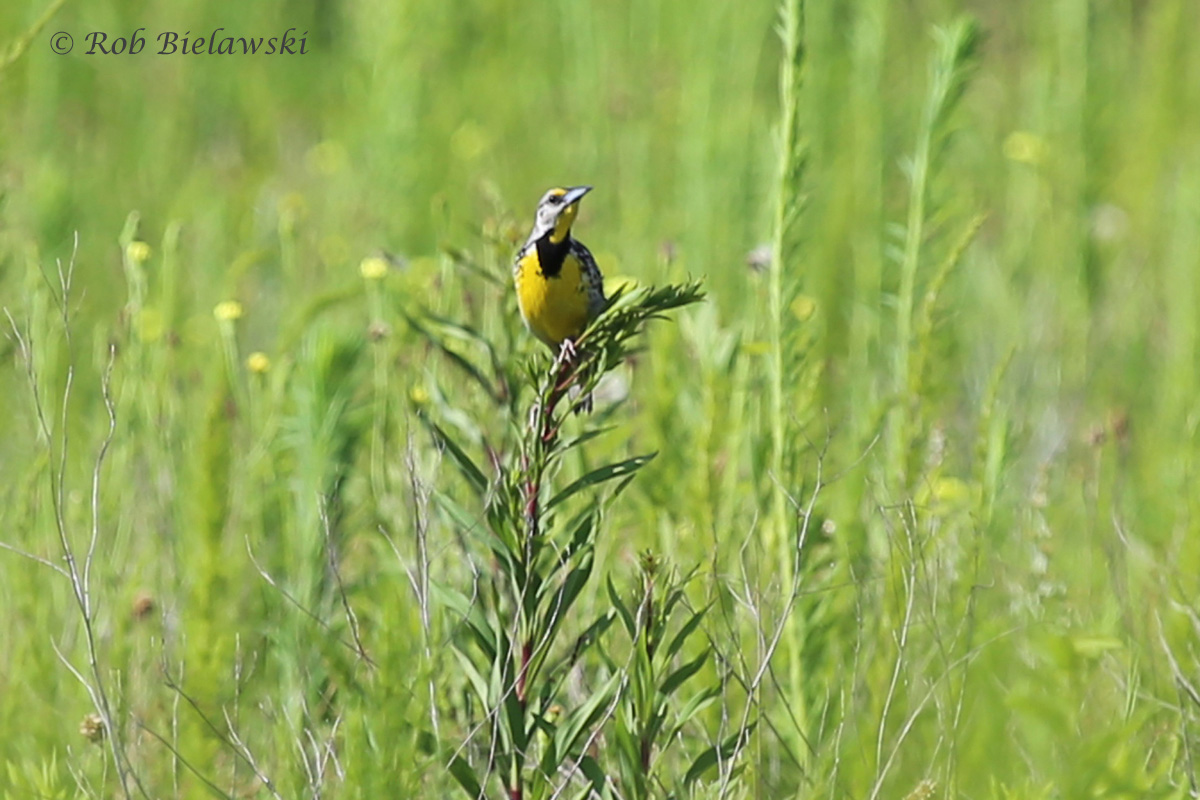Eastern Meadowlark - Breeding Adult - 12 Jul 2015 - Princess Anne Wildlife Management Area (Whitehurst Tract), Virginia Beach, VA