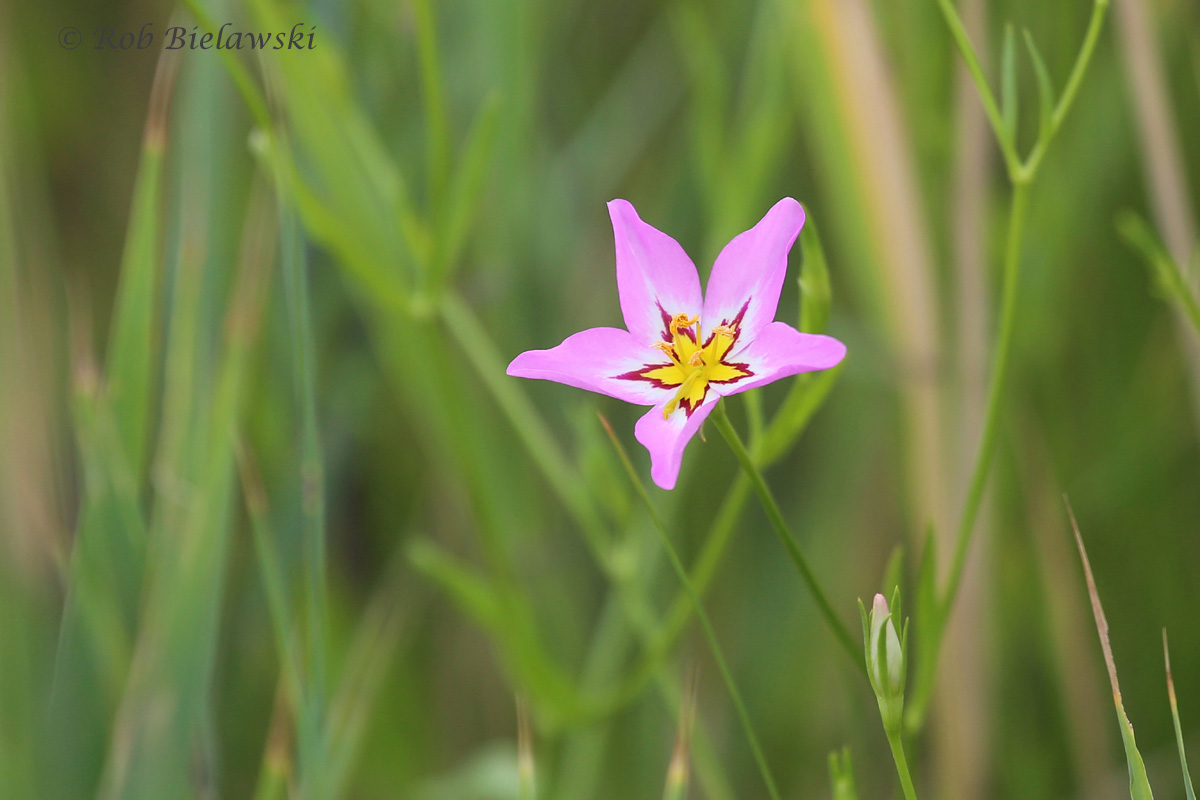 Beautiful little Marsh Pink flowers are now in bloom in the sandy areas of Pleasure House Point!