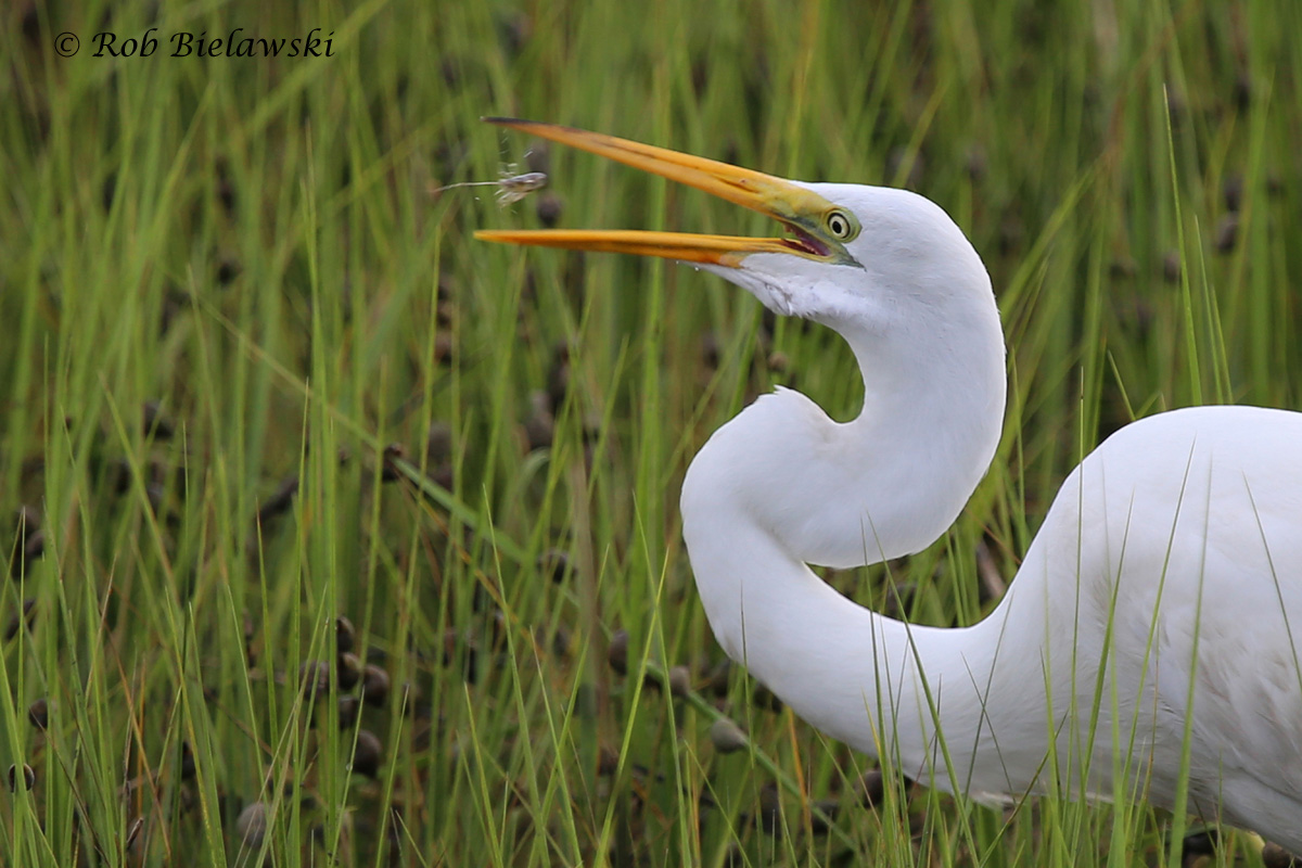 Crayfish for dinner! This Great Egret was observed foraging in the shallows at Pleasure House Point!