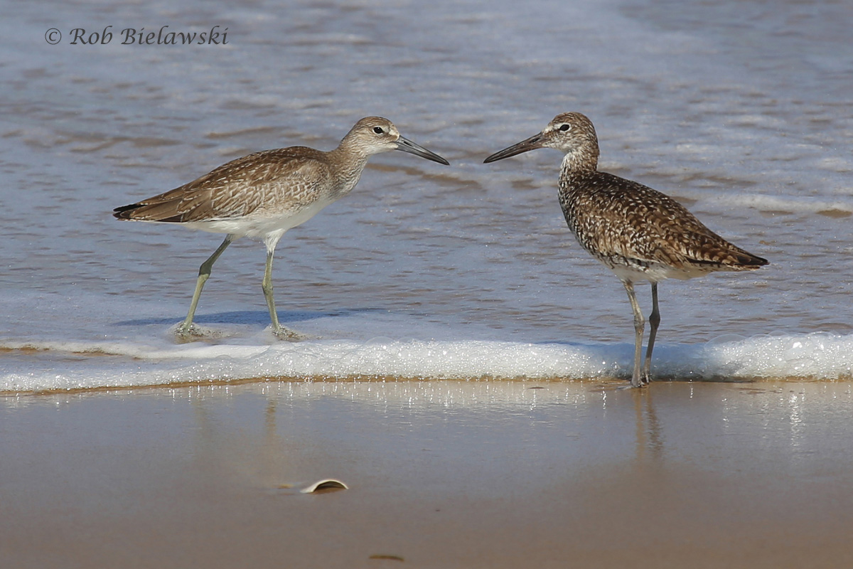 Willets have started their southward journeys for the Fall season, and have arrived to Virginia Beach in very good numbers!