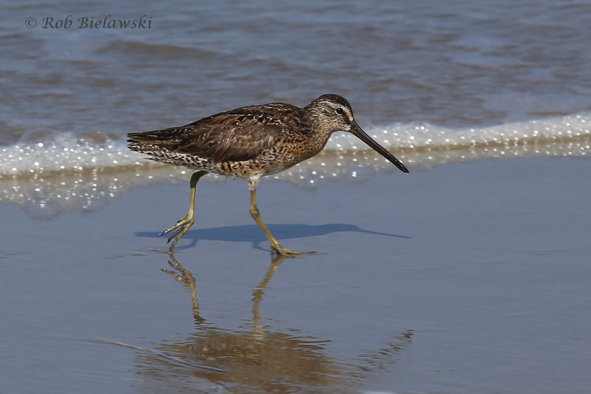 Short-billed Dowitchers have also started their migration, this one was seen at Back Bay NWR on Friday evening!