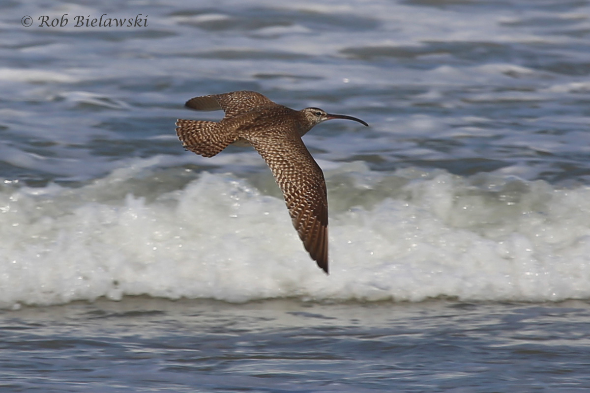 Most interesting of all the birds I saw this past week, this crazy looking bird is a Whimbrel! This is one of only a couple records reported so far this year in Virginia Beach, and the first of the fall migration records!
