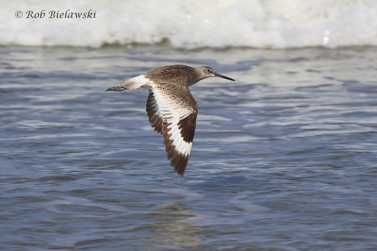 The distinctive white & black patterns on the Willet make it one of the most easily identifiable shorebirds while in flight!