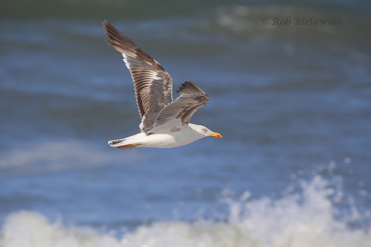 Showing yellow legs, and the start of its very dark wing feathers, this is a young Lesser Black-backed Gull!