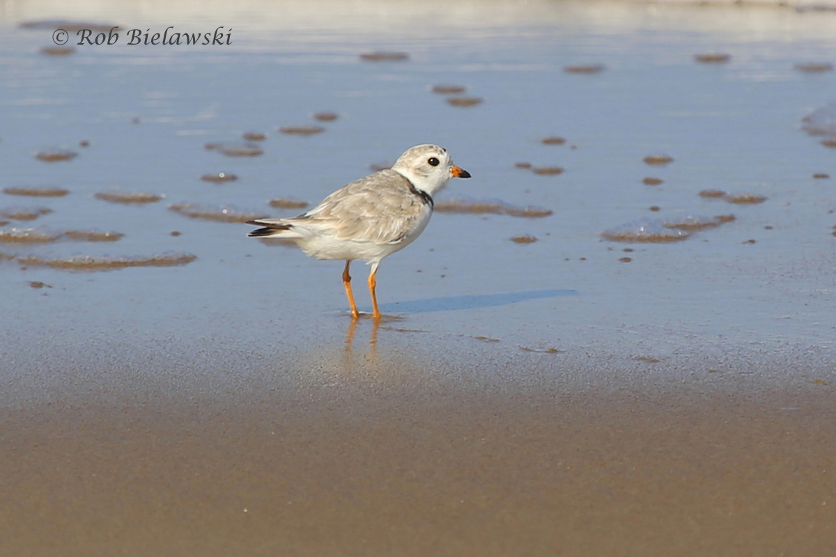 Endangered in the United States, this dapper fellow is a Piping Plover!