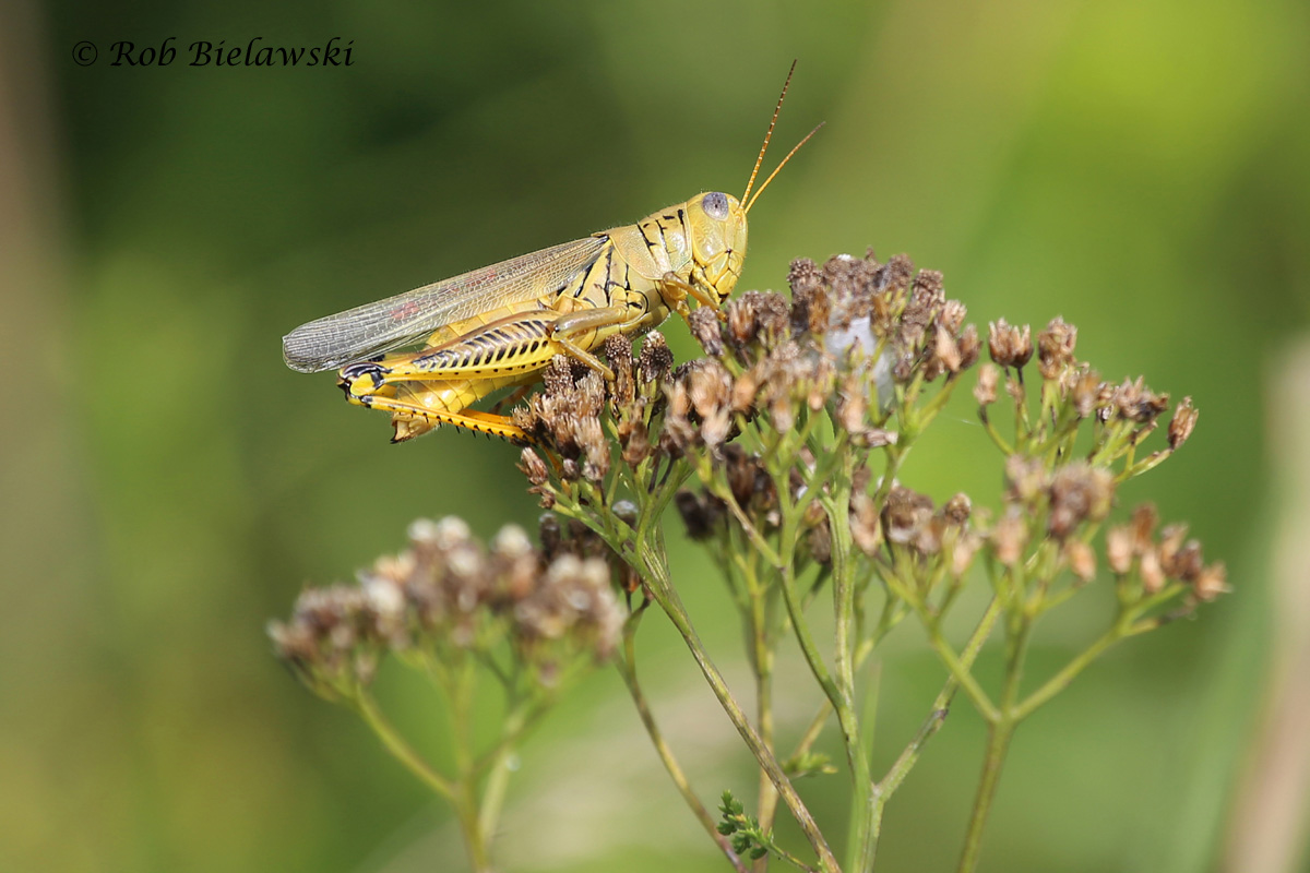 One of many, many grasshoppers sighted at Princess Anne Wildlife Management Area, this is a Differential Grasshopper!