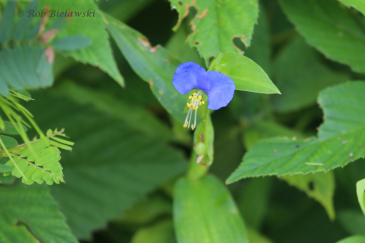 A non-native species to our area, but a beautiful one, this is an Asiatic Dayflower!