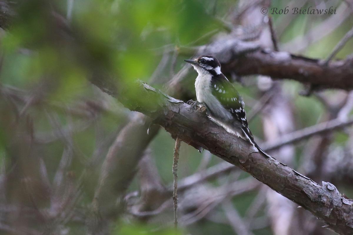 Downy Woodpecker - Adult Female - 14 Jul 2015 - Pleasure House Point Natural Area, Virginia Beach, VA