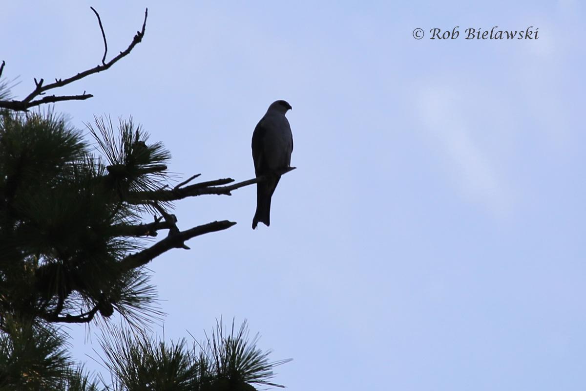 Mississippi Kite - Silhouette - 14 Jul 2015 - Thoroughgood, Virginia Beach, VA