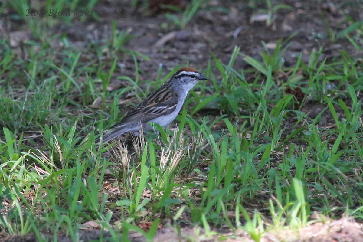 Chipping Sparrow - Breeding Adult - 18 Jul 2015 - Munden Point City Park, Virginia Beach, VA