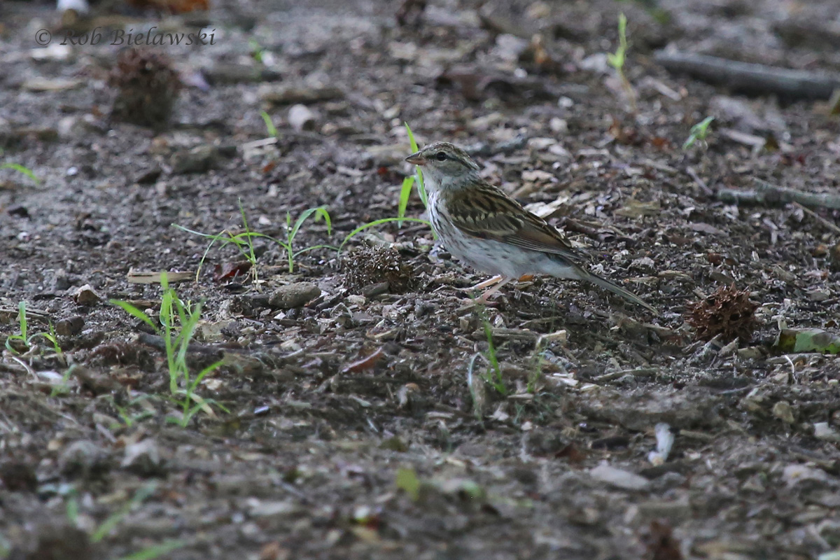 Chipping Sparrow - Juvenile - 18 Jul 2015 - Munden Point City Park, Virginia Beach, VA