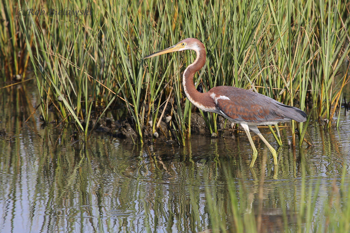 Juvenile Tricolored Herons continue to seen in good numbers at Pleasure House Point!