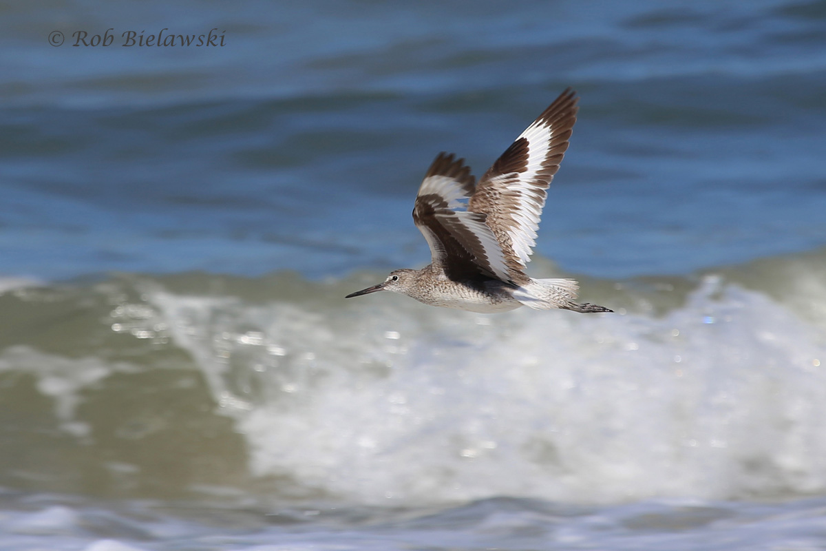 The distinctive white marking of the Willet in flight at Back Bay NWR!