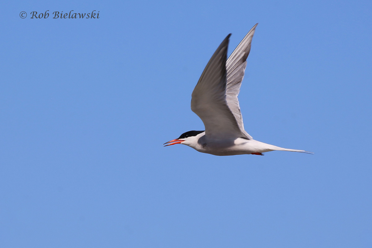 A Common Tern in flight along the shoreline at Back Bay on Friday evening!
