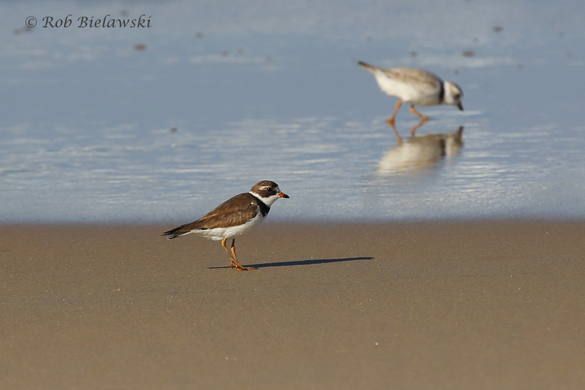 Two species of plovers, the Semipalmated Plover at lower left, and the Piping Plover at upper right at Back Bay NWR!