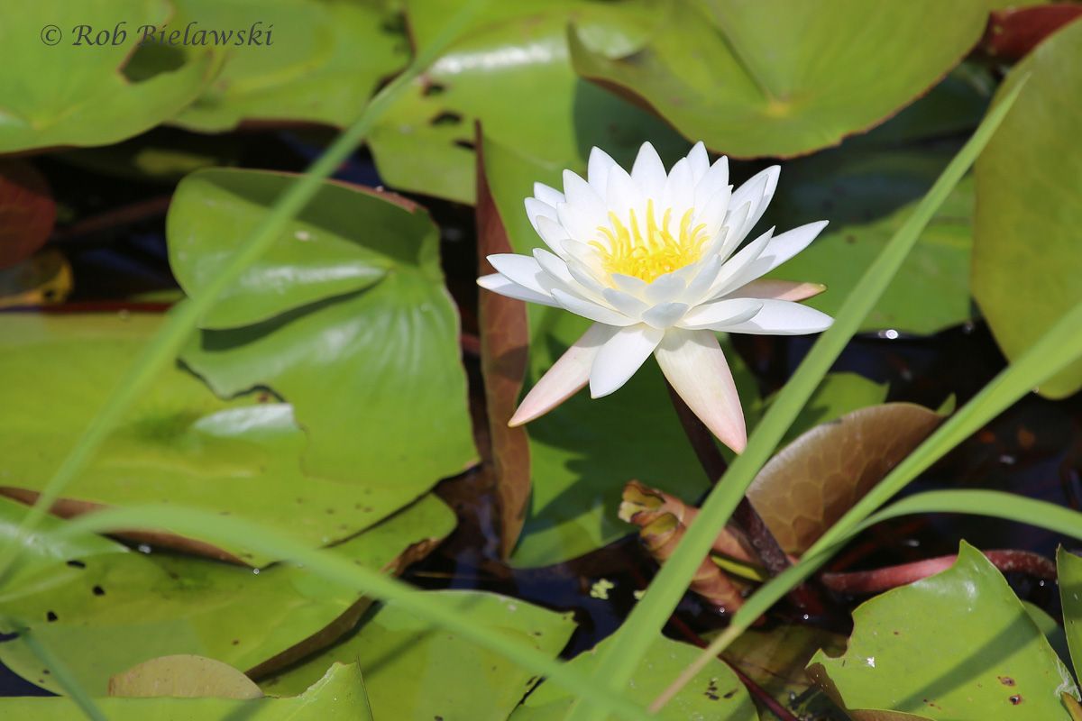 American Water Lilies are currently in bloom on the backwater of the North Landing River and its tributaries, like this one seen on Milldam Creek!