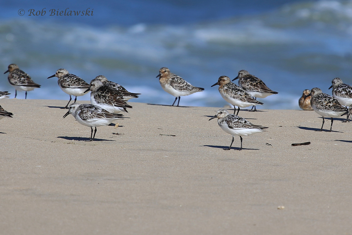 Sanderling - Breeding Adults - 24 Jul 2015 - Back Bay National Wildlife Refuge, Virginia Beach, VA