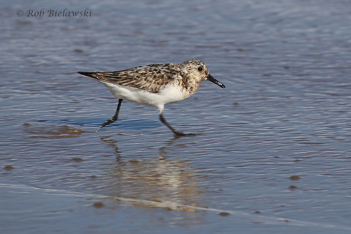 Sanderling - Adult Male, Transitioning from Breeding to Nonbreeding Plumage - 24 Jul 2015 - Back Bay National Wildlife Refuge, Virginia Beach, VA