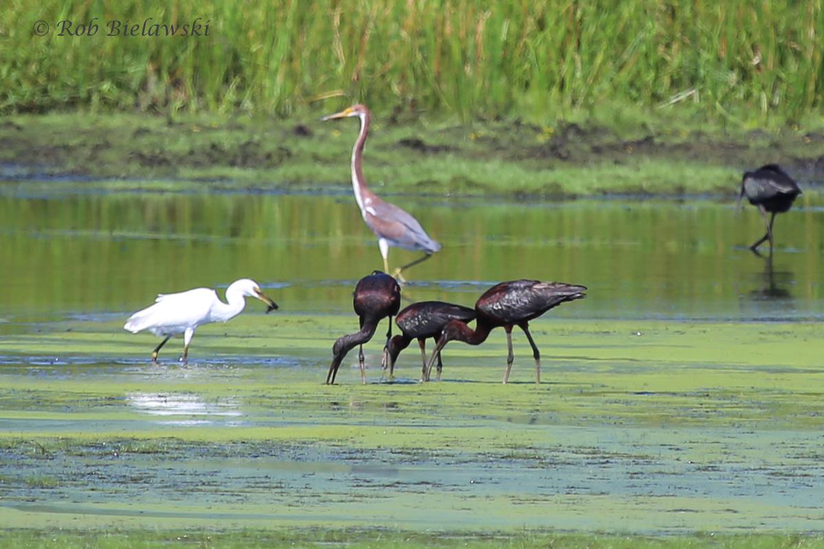 Snowy Egret, Tricolored Heron & Glossy Ibii