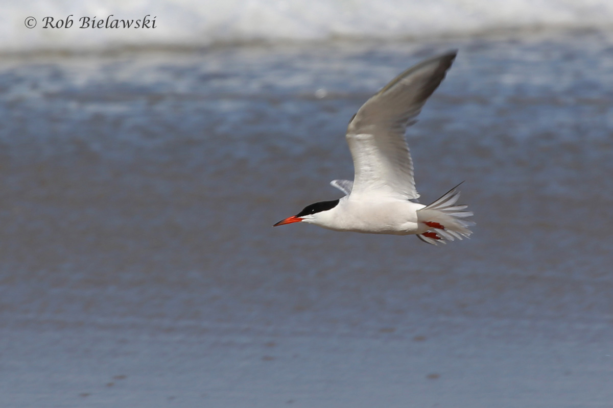 Showing its reddish bill & feet, and grayish chest & belly, this is a Common Tern, seen in flight at Back Bay NWR!