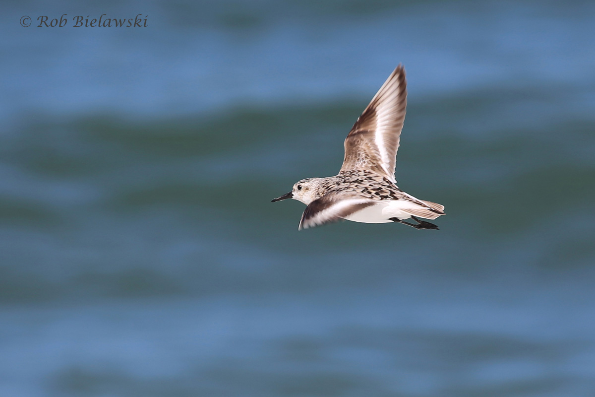 Sanderling - Juvenile in Flight - 31 Jul 2015 - Back Bay National Wildlife Refuge, Virginia Beach, VA