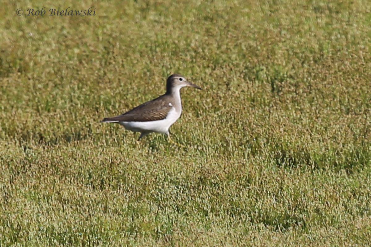 Spotted Sandpiper - Juvenile - 1 Aug 2015 - Princess Anne Wildlife Management Area (Whitehurst Tract), Virginia Beach, VA