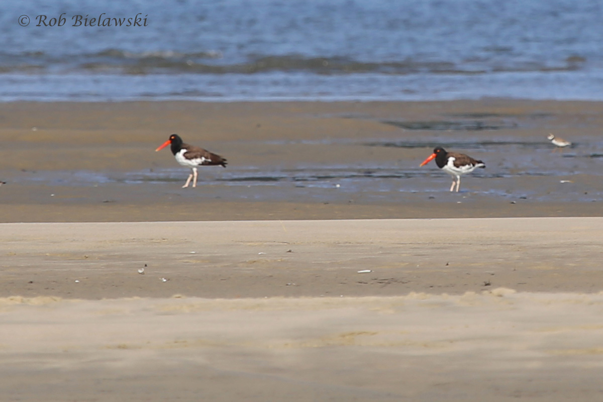 American Oystercatchers & Semipalmated Plover