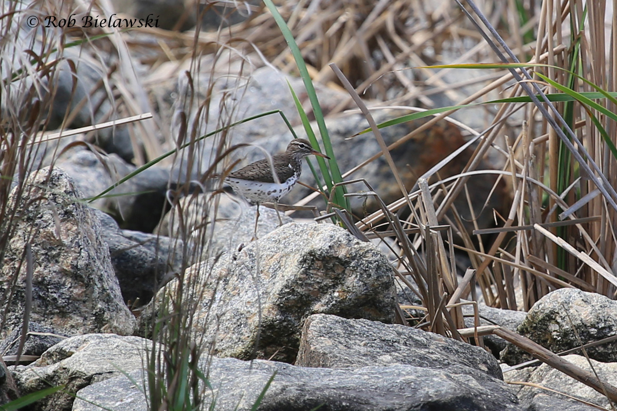 Spotted Sandpiper - Breeding Adult - 16 May2015 - Back Bay National Wildlife Refuge, Virginia Beach, VA