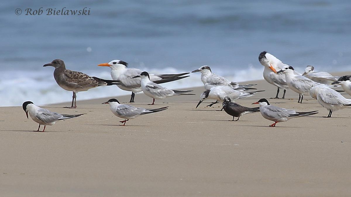 Common Tern, Sandwich Tern, Royal Tern, Black Tern & Laughing Gull