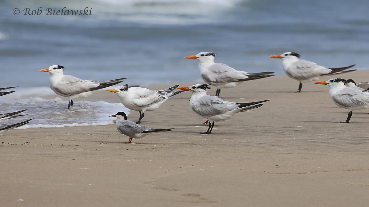 Common & Royal Terns