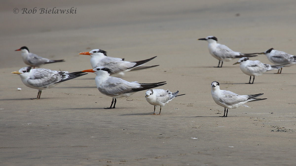 Common, Royal & Sandwich Terns