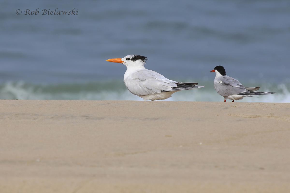 Royal & Common Tern