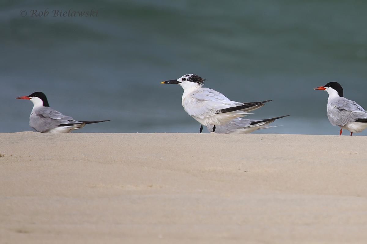 Sandwich & Common Terns