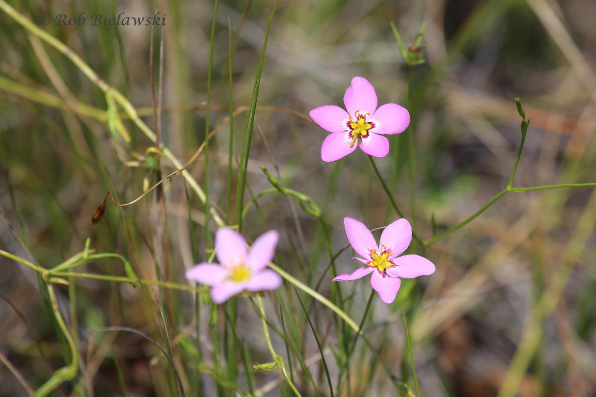 Marsh-Pink