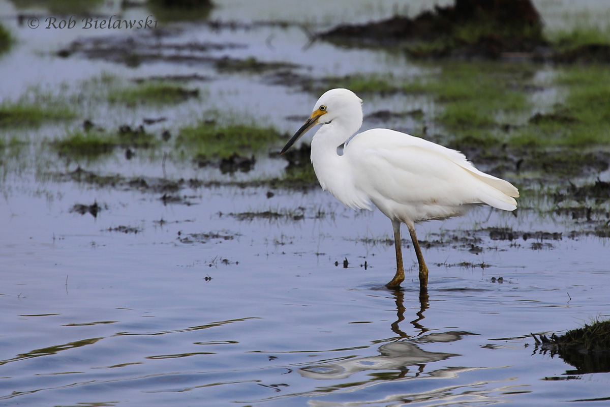 With overcast skies, this Snowy Egret's details can be seen better than during a bright, sunny day!