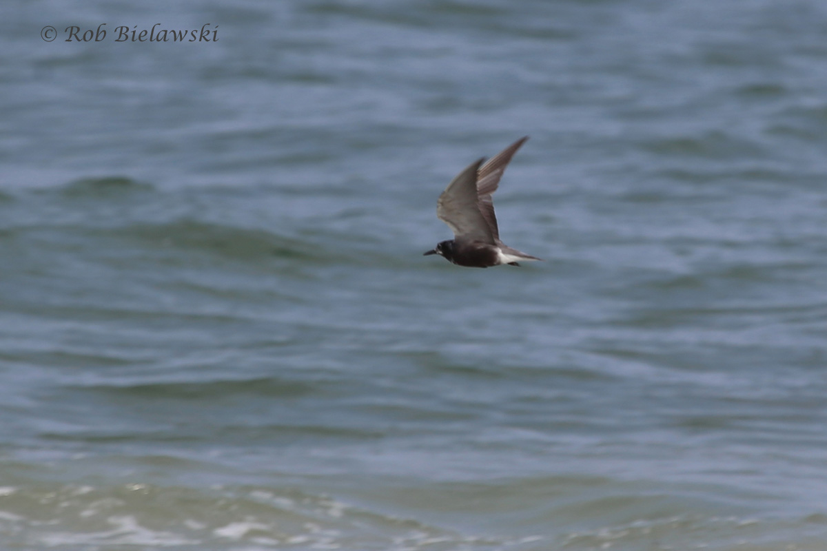 My very first photograph of a Black Tern! A new addition to my life list, though I did see two as a child in Minnesota!