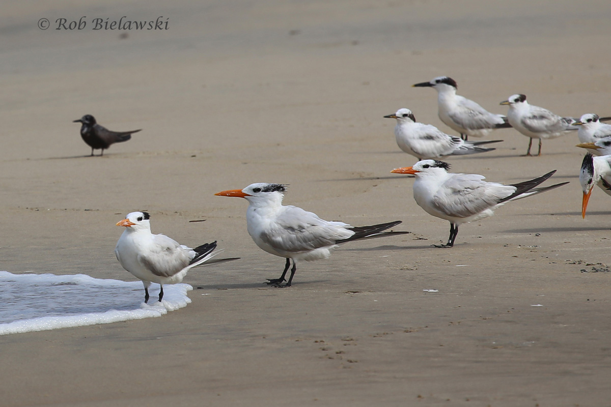 In between a pair of very turbulent storm cells, the terns decided to seek out refuge on the beach. Black Tern can be seen here at left!