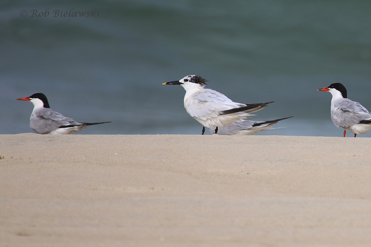 Common & Sandwich Terns were the most frequently seen birds at Back Bay, along with the non-pictured-here Royal Terns!