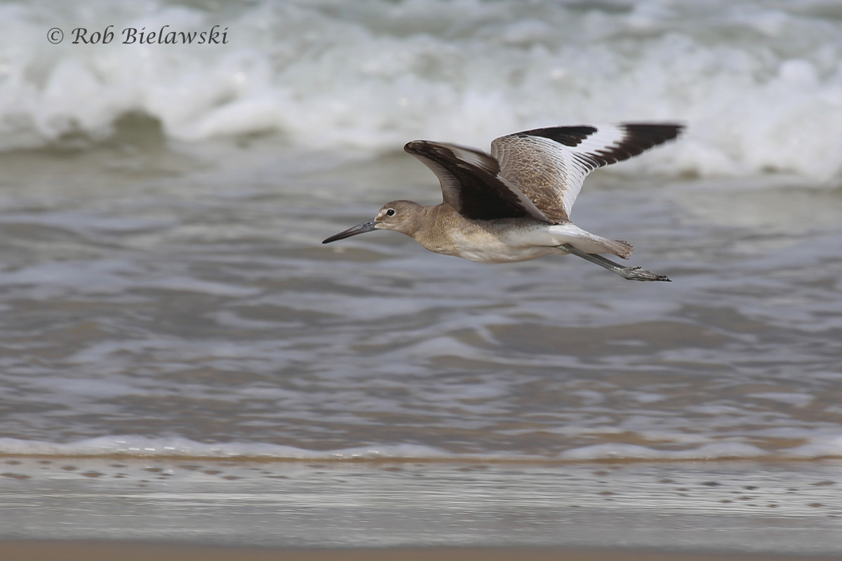 A beautiful Willet in flight along the breakers, showing off its distinctive black and white wing patterning!