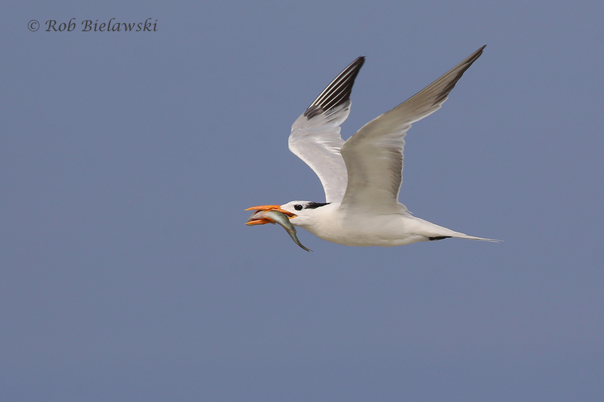 Quite a successful catch for this nonbreeding Royal Tern at Back Bay NWR on Friday evening!