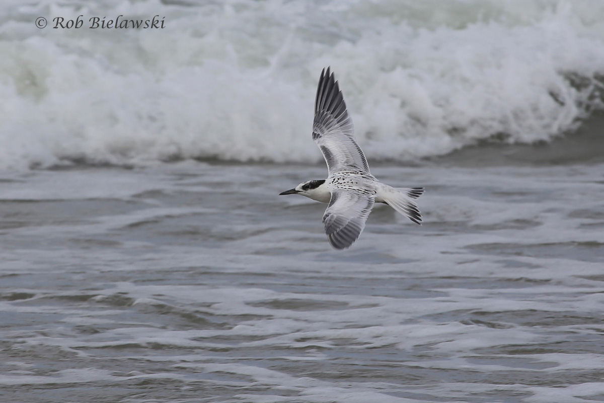 With it's scaled back, black bill, and black face, this is a juvenile Common Tern! The youngster are really showing up now, and making identification of all the birds a bit more difficult.