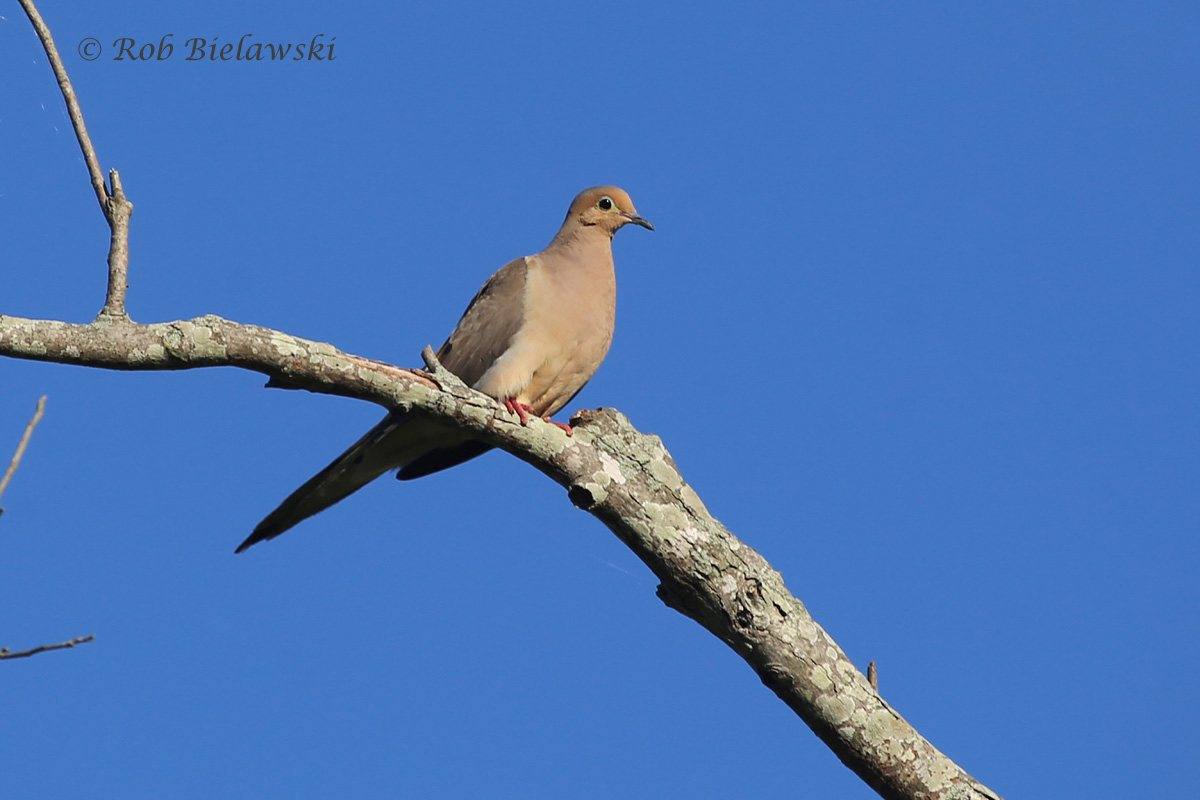 While not uncommon birds, Mourning Doves just have a beautiful aura about them, seen here at Princess Anne WMA!