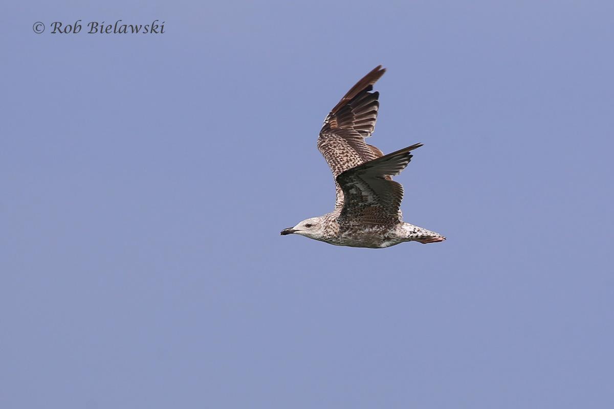 Great Black-backed Gull - Juvenal Plumage - 7 Aug 2015 - Back Bay NWR, Virginia Beach, VA
