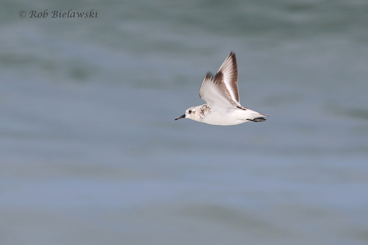 Sanderling - Juvenile in Flight - 7 Aug 2015 - Back Bay National Wildlife Refuge, Virginia Beach, VA