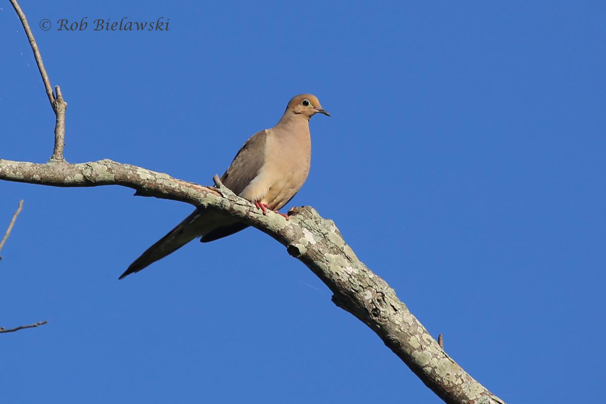 Mourning Dove - Adult Male - 7 Aug 2015 - Back Bay NWR, Virginia Beach, VA
