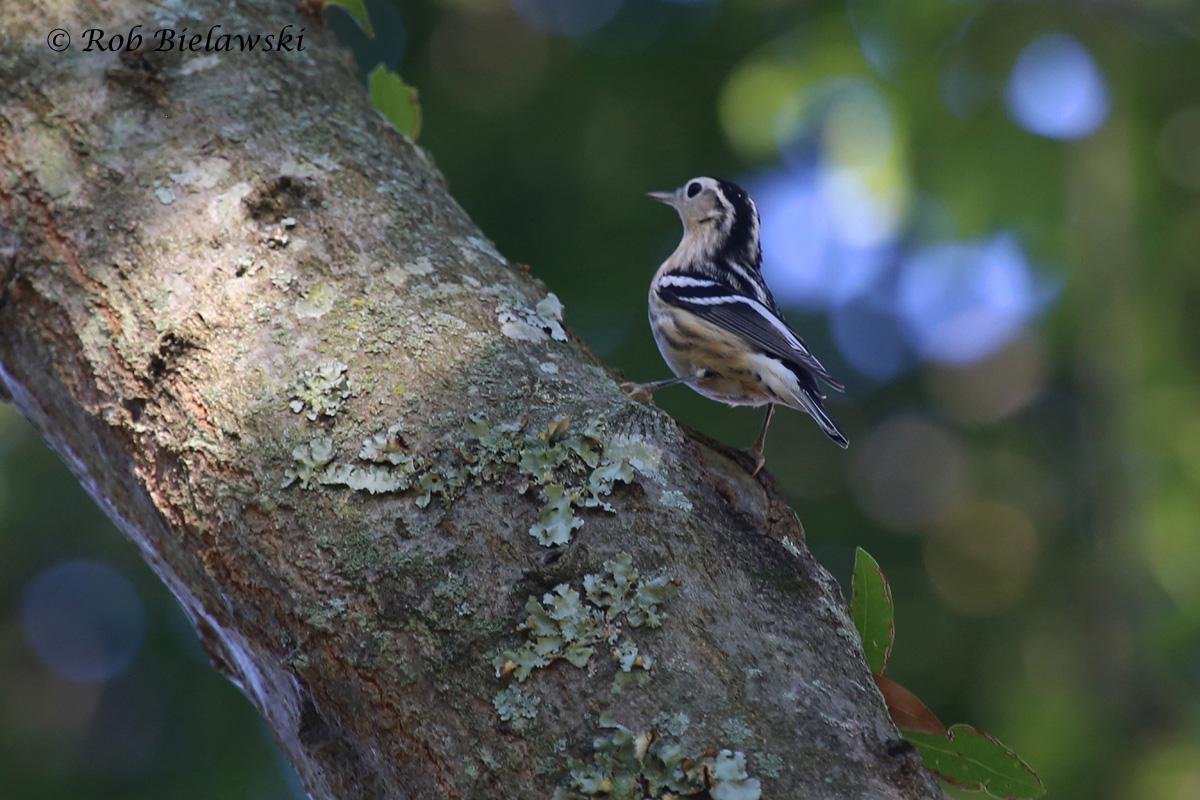 Black-and-White Warbler - Adult Female Fall Plumage - 9 Aug 2015 - Kings Grant, Virginia Beach, VA