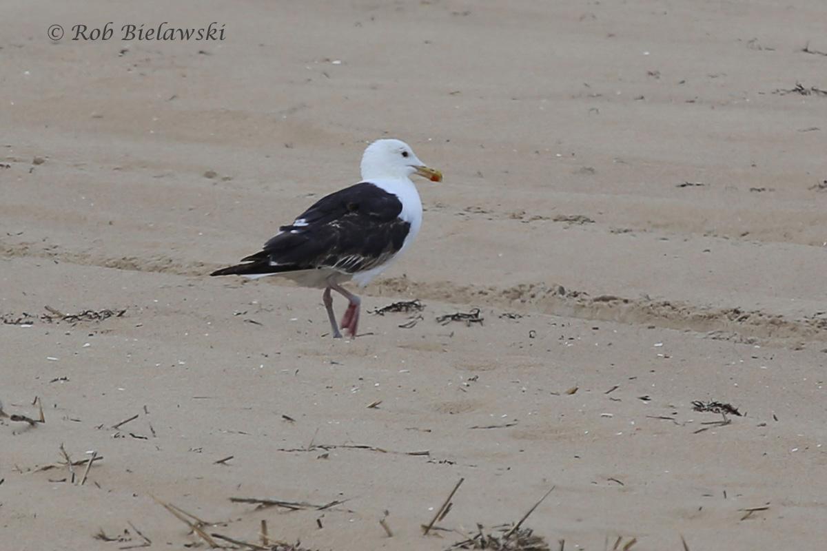 Great Black-backed Gull -Transitional, Definitive Alternate to Definitive Basic Plumage - 7 Aug 2015 - Back Bay NWR, Virginia Beach, VA